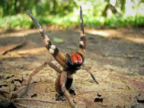 10 Reasons Why The Brazilian Wandering Spider Is The