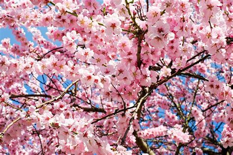 Where to Go for The Most Beautiful Cherry Blossoms in