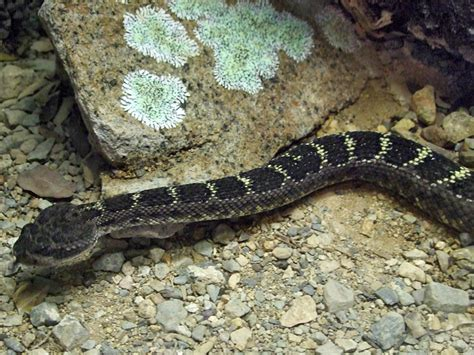 Arizona black rattlesnake: Animals at the Arizona-Sonora