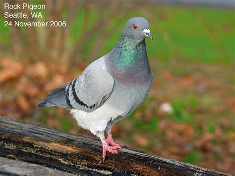 Northwest Nature Notes: BAND-TAILED PIGEON