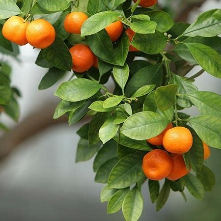 Owari Satsuma Orange Trees for Sale – FastGrowingTrees