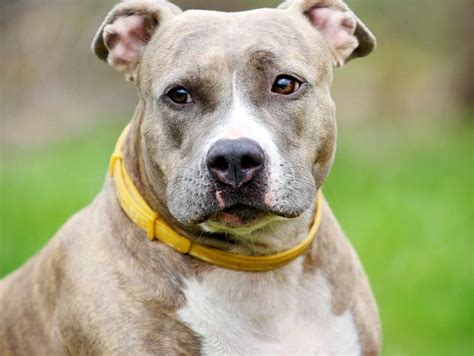 Pit Bulls: The Myths, the Legends, the Reality | Petfinder