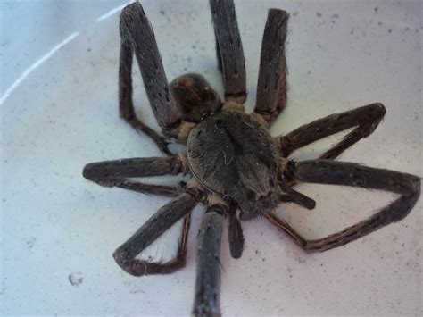 Panama Prattle: Visit from a Wandering Spider