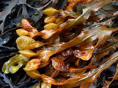 Fucus spiralis - Spiralled, Spiral or Twisted Wrack (Brown
