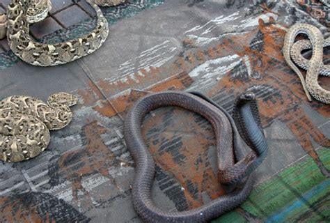 Making Cobras Swoon Is Not So Charming in Marrakech