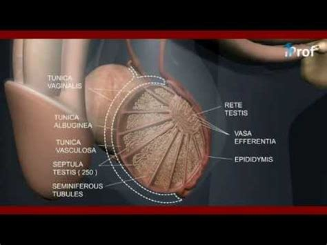 L S of testis   Male reproductive system video lecture