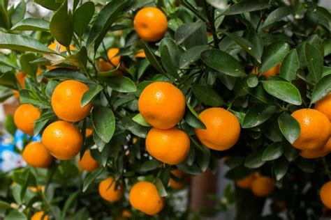 Growing Satsuma Trees | HGTV