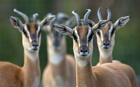 Antelope Full HD Wallpaper and Background Image