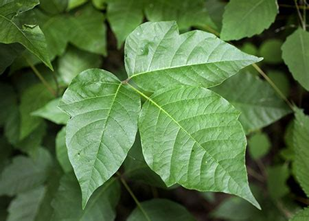 What Does Poison Ivy Look Like? | New Health Advisor
