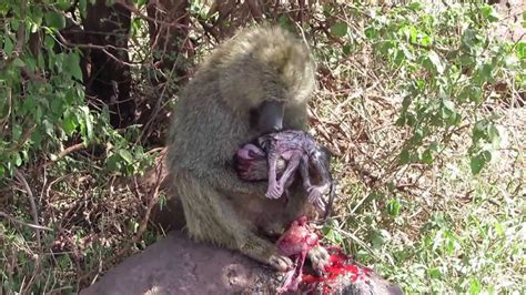 Baboon and her baby after giving birth - Lake Manyara
