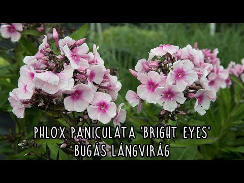 Phlox Bright Eyes Plants from Mr Fothergill's Seeds and Plants