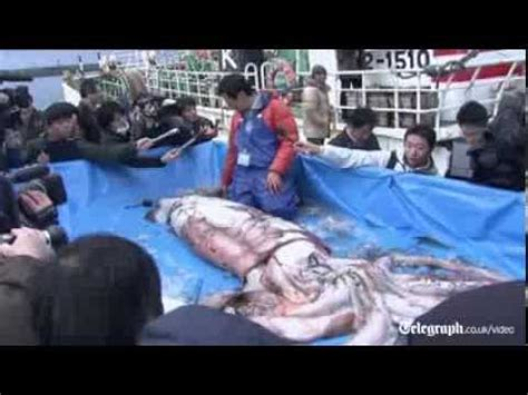 Giant squid caught in fishing net in Japan - YouTube