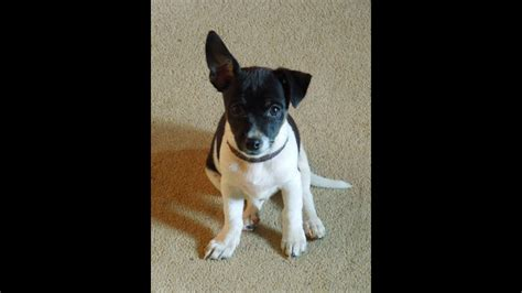 Guilty Jack-chi puppy Munchkin