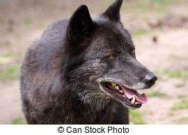 Canis lupus signatus looking to the left