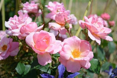 Four New Roses From Star Roses & Plants