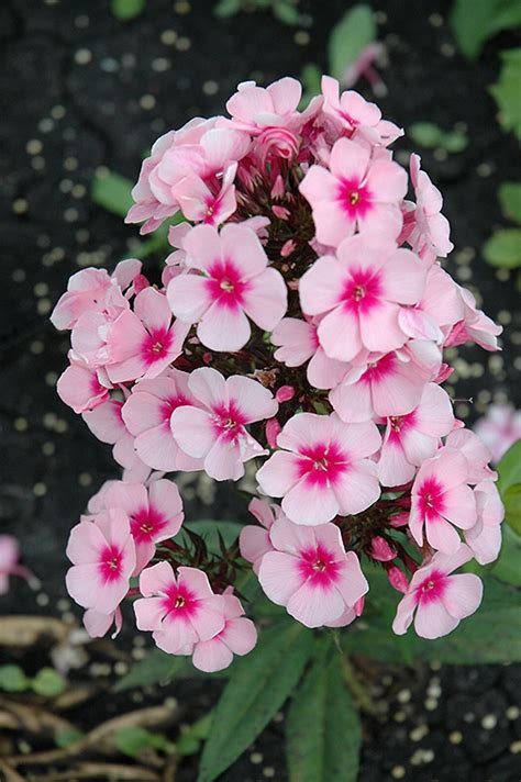 Bright Eyes Garden Phlox (Phlox paniculata 'Bright Eyes