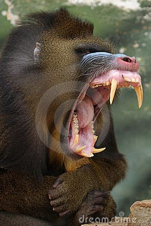 Monkey Mandrill Royalty Free Stock Images - Image: 1535299