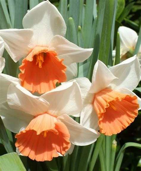 Narcissus Chromacolor - Pink Large Cups - Narcissi