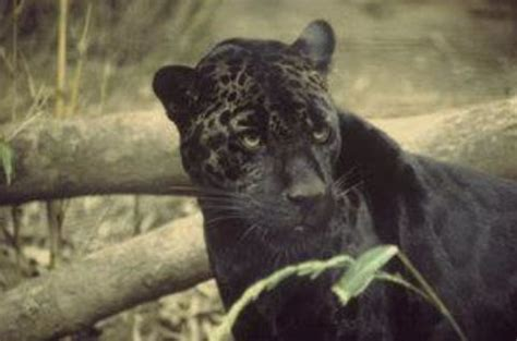 Adopt A Black Panther - World Animal Foundation