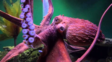 Giant Pacific Octopuses are Extreme - YouTube