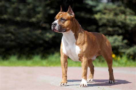 American Staffordshire Terrier breed profile - Pets4Life