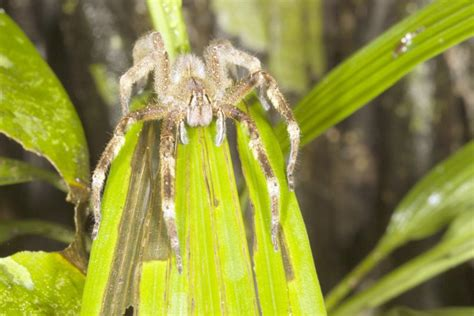 A Woman Found Deadly 4-Hour Erection Causing Spiders In