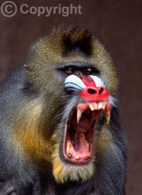 Zoo Animals: Mandrill