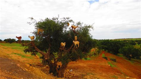 7 of the Most Bad-Ass Goats On Trees – SALT Artists