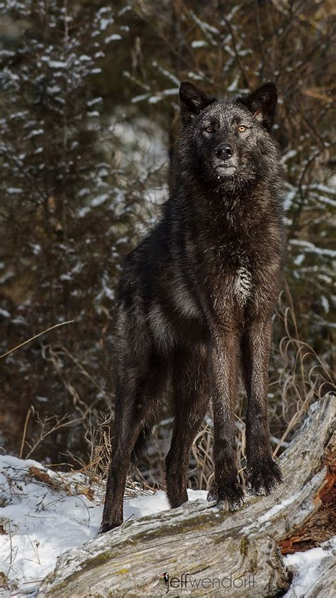 ☀Tundra Wolf, Canis lupus tundarum | For the Sight